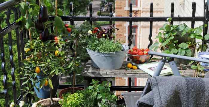 huerto en el balcon berenjenas fresas aromaticas