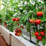 Huerto en terraza: tomateras