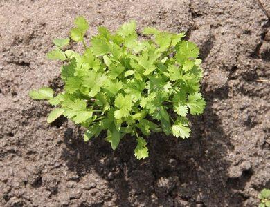 Como cultivar cilantro. El cilantro facil y sencillo para cultivar