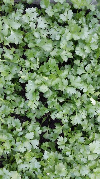 El cilantro facil de cultivar