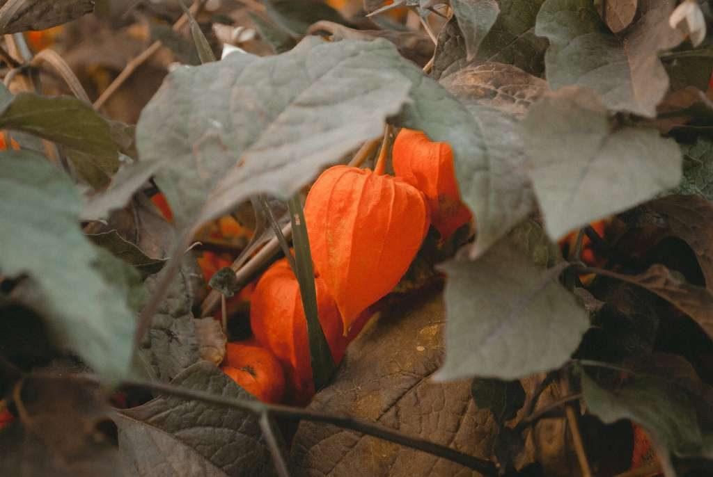 La cabalaza hortaliza facil de cultivar