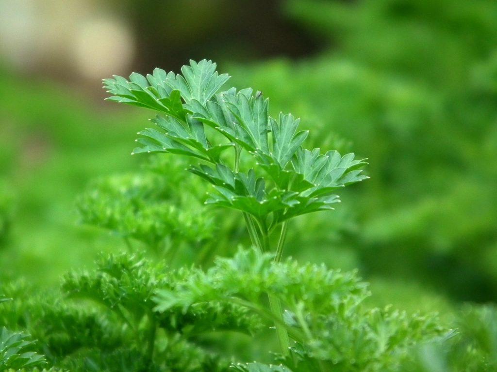 El perejil planta aromatica de facil cultivo
