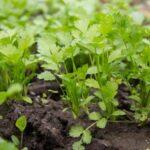 Como cultivar perejil en nuestro huerto