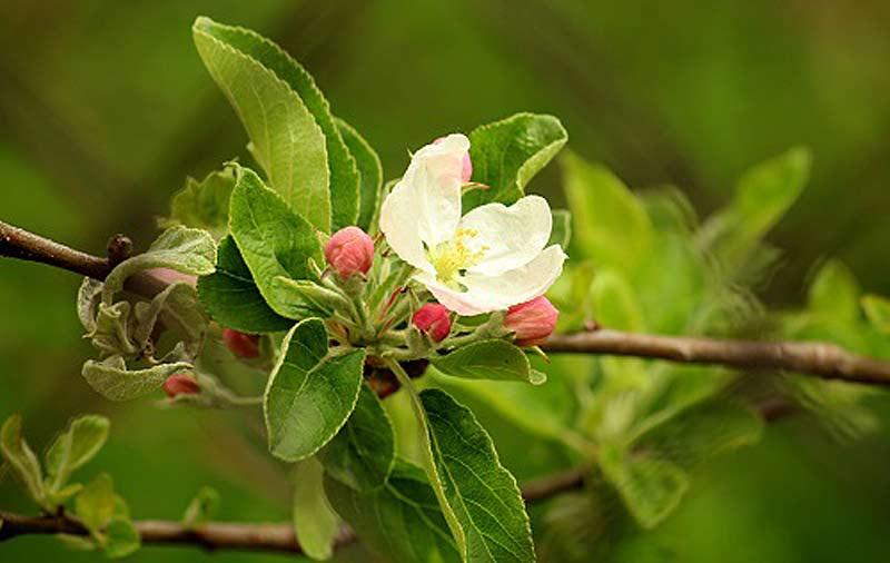 Cuidado de los frutales en abril