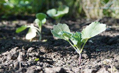 Que plantar en Febrero. El Huerto en Febrero