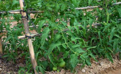 Que plantar en junio en el Huerto