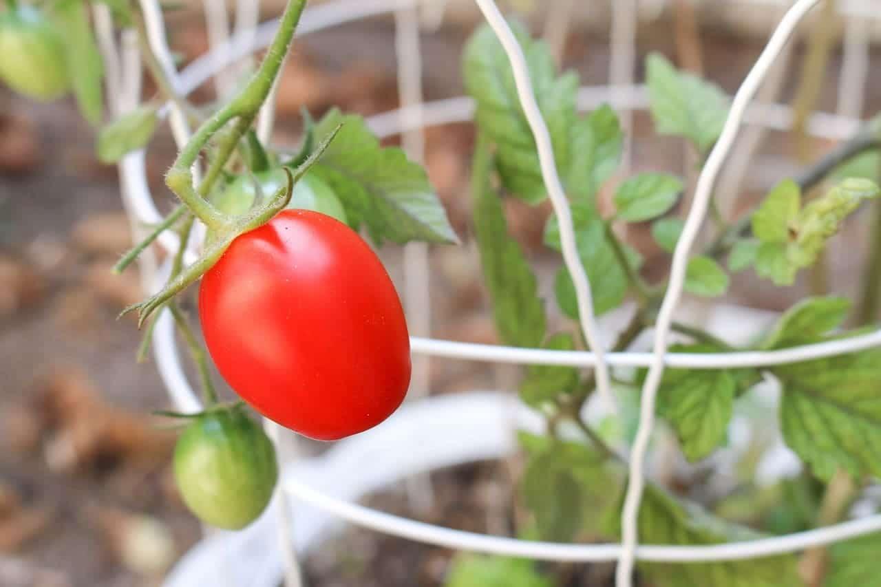 Plantar tomates en macetas – Mejores variedades y Consejos