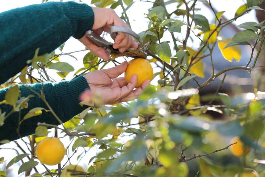 Podar frutales citricos