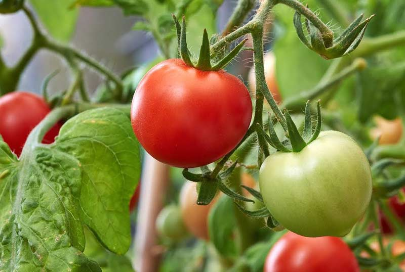 Cultivo de tomates, ¿como hacerlo correctamente?