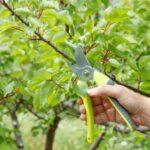 La poda de frutales: Consejos para podar frutales de forma correcta