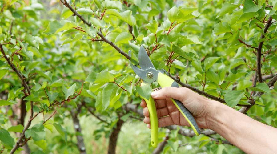 Poda de frutales: Consejos para podar frutales correctamente