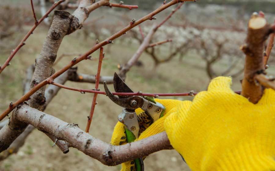Poda de arboles frutales en invierno