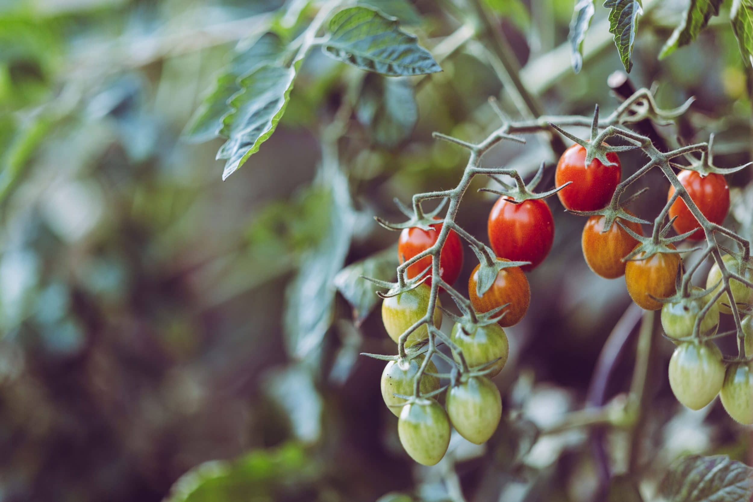 Mejores variedades de tomate para plantar en maceta
